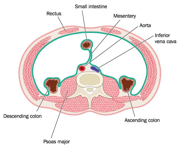 psoas-muscle-cross-section_277585796
